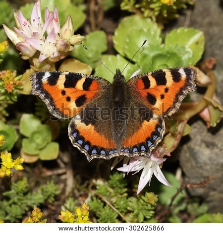 The Small tortoiseshell (Aglais urticae) are sitting on the flowers. - stock photo
