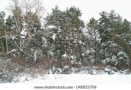 The snow covered pine trees at winter.  - stock photo