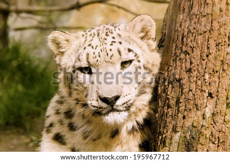 the snow leopard - stock photo