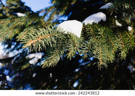 the snow on the spruce branches