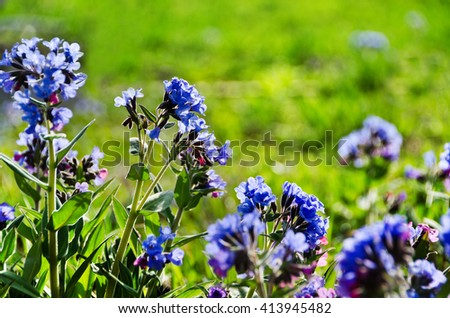 The softest lungwort ( Pulmonaria mollis ). Medicinal wild plants of Siberia. Spring flowers background. - stock photo