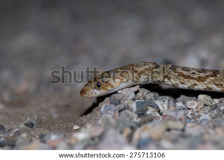 The Sonoran Lyre snake, photographed on the Arizona Mexico border. - stock photo