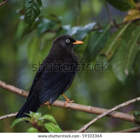 The Sooty Thrush./ (Turdus nigrescens) is a large thrush endemic to the highlands of Costa Rica and western Panama. - stock photo
