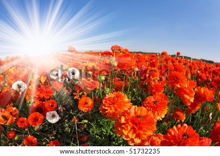 "The sparkling sun shines a field with blossoming  red and white spring buttercups. The photo is made by lens ""Fish eye"" - stock photo"
