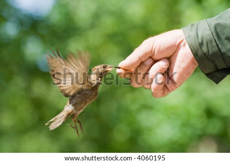The sparrow flies up to a hand behind a seed - stock photo