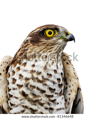 The sparrow-hawk on a white background. - stock photo