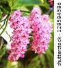 the species orchid (Rhynchostylis) of thailand - stock photo
