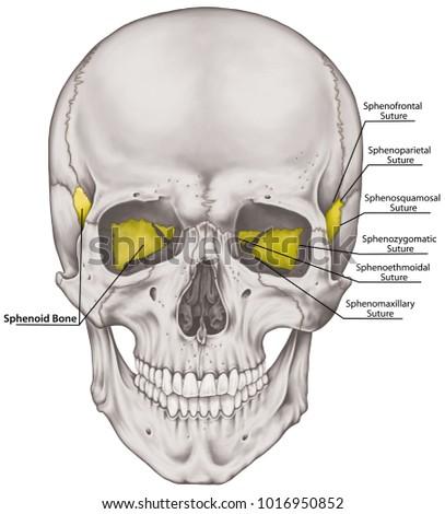 Sphenoid Bone Cranium Bones Head Skull Stock Illustration 1016950852 ...