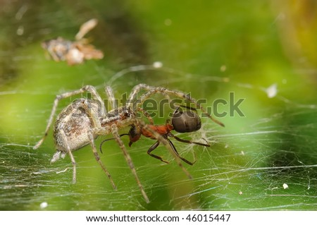The spider attacking an ant. Macro. Adobe RGB .