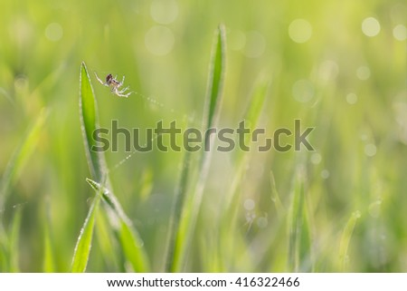 the spider on gossamer in grass with droplets of dew in the morning sun.  soft focus, shallow DOF. - stock photo