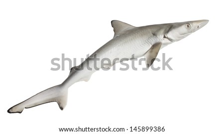 The spiny dogfish, spurdog, mud shark, or piked dogfish   isolated on white background - stock photo