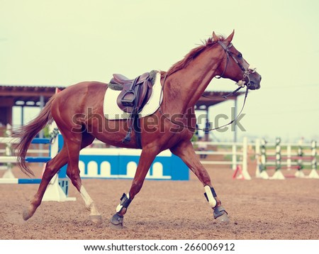 The sports horse trots in the field for competitions. - stock photo