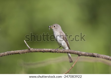 The spotted flycatcher  with fly in the beak perched on the twig on green background - stock photo