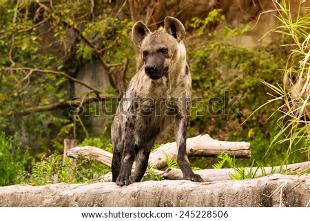 The spotted hyena. Crocuta crocuta - stock photo