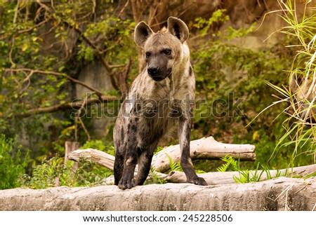 The spotted hyena. Crocuta crocuta - stock photo