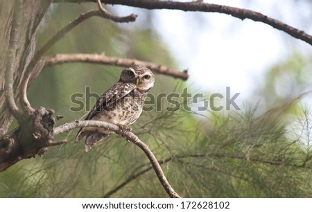 The Spotted Owlet on the tree. - stock photo