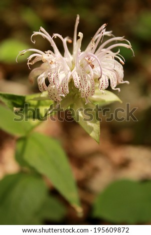 The spotted white petals of the Horsemint wildflower pictured here a forest floor in Missouri, USA. - stock photo
