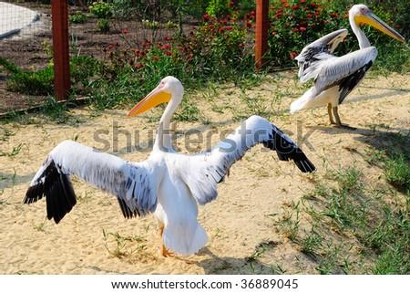 The spread wide pelican - stock photo