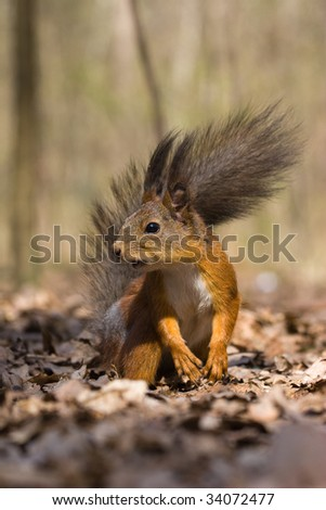 The squirrel has half-risen on hinder legs and looks in an objective
