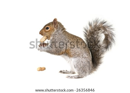 The  squirrel in the winter - stock photo