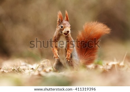 The squirrel was photographed in the Czech Republic. Squirrel is a medium-sized rodent. Inhabiting a wide territory ranging from Western Europe to Eastern Asia. - stock photo