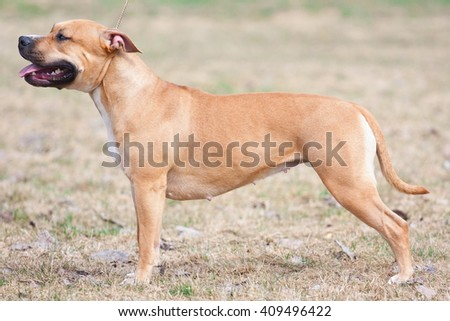 the Staffordshire terrier - stock photo