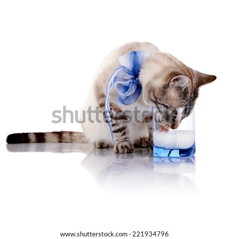 The striped cat with a blue bow drinks milk from a glass. Striped cat. Striped not purebred kitten. Small predator. Small cat. - stock photo