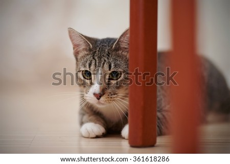 The striped domestic cat hides behind chair legs.