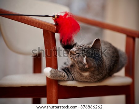 The striped domestic cat plays with a toy on a chair. - stock photo