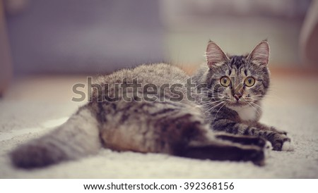 The striped domestic cat with yellow eyes lies. - stock photo