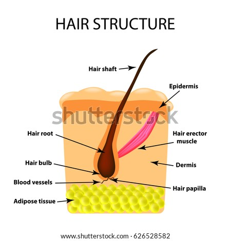 Structure Hair Infographics Illustration On Isolated Stock