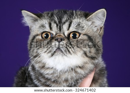 the studio portrait of a cat on a purple blue background