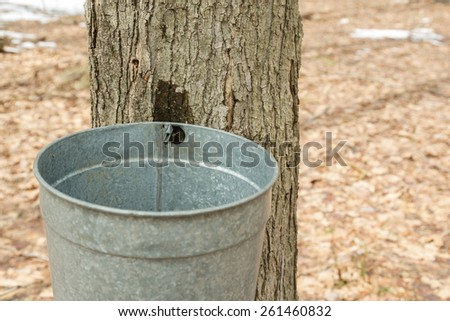 The sugar bush. Pails hang from Maple trees collecting sap to produce maple syrup. - stock photo
