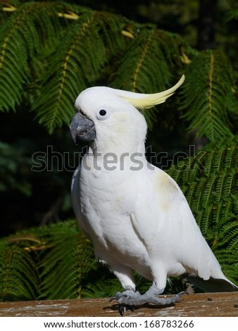 The Sulphur-crested Cockatoo (Cacatua galerita) is a relatively large white cockatoo with a yellow crest in Australia - stock photo