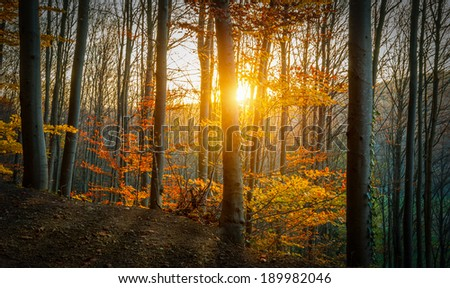 The Sun is Shining through an Autumn Forest. - stock photo