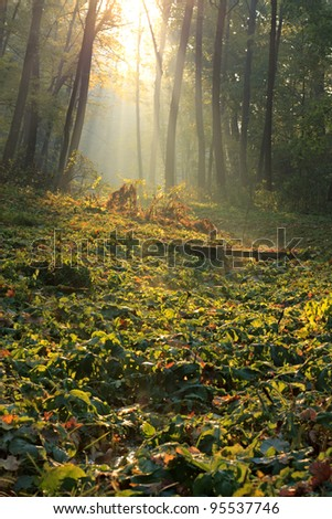 The sun's rays in a frosty forest in the morning - stock photo