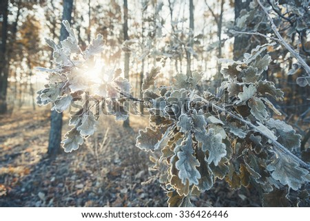 The sun's rays of the morning sun shining through the branches with oak leaves covered with frost.