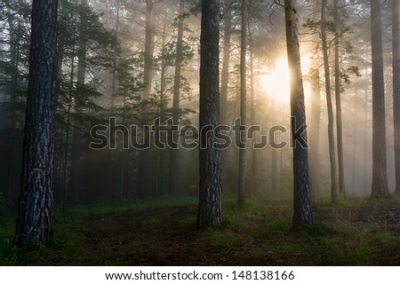 the sun's rays penetrating the fog in a pine forest - stock photo