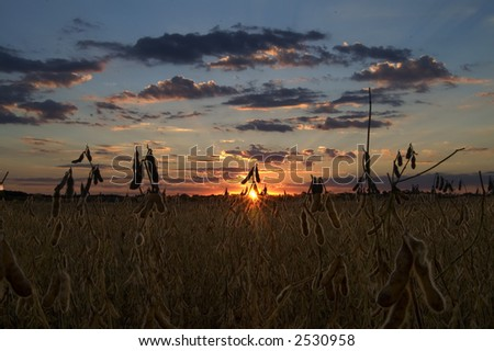 the sun setting over a soybean field - stock photo