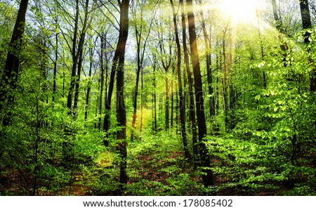The sun shining warmly through spring's fresh foliage in a beech forest - stock photo