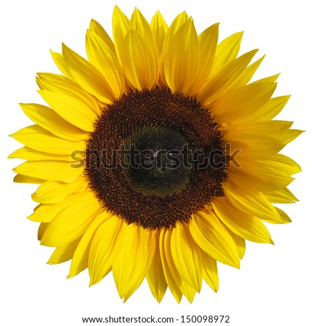 The sunflower isolated on white background with a clipping path - stock photo