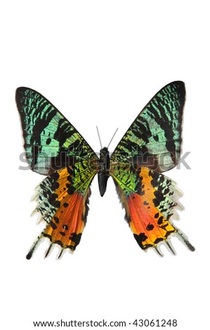 The Sunset Moth in multiple colors isolated on a white background - stock photo