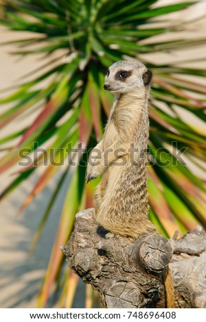 stock-photo-the-suricate-in-pose-7486964