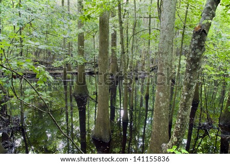 The swampy cypress forest of Congaree National Park in South Carolina on a rainy day. - stock photo