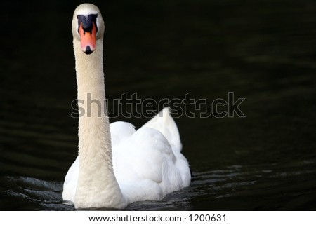 The swan - stock photo
