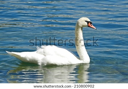 The Swan on Lucerne Lake at Switzerland