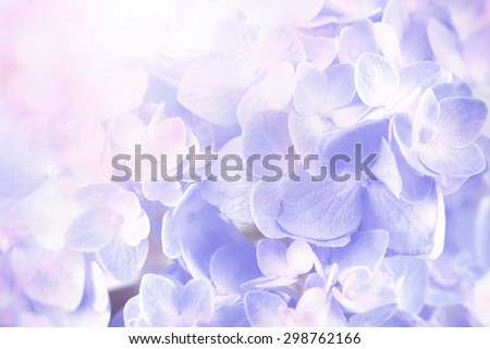 the sweet  hydrangea flowers on a white background