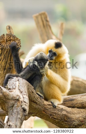 The sweet white-cheek gibbon mum look after her child - stock photo
