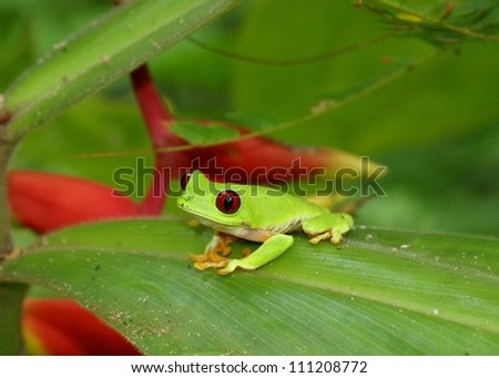 The symbol of the rainforest and conservation, Red-eyed Treefrog, Agalychnis callidryas, on heliconia flower leaf