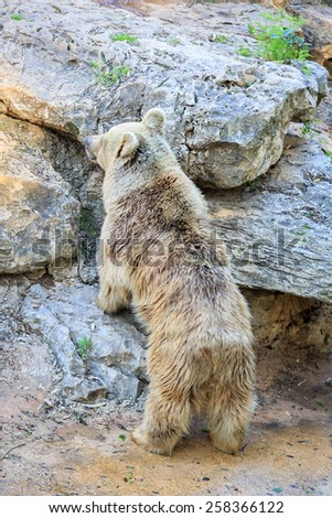 The syrian bear is standing on stones - stock photo